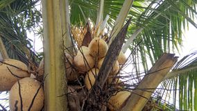 Hybrid Coconut Tree and Fruits. The hybrid Variety is the perfect solution for farmers aspiring to develop a farm in which their coconut trees should deliver royalty free stock photo