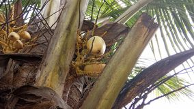 Hybrid Coconut Tree and Fruits. The hybrid Variety is the perfect solution for farmers aspiring to develop a farm in which their coconut trees should deliver stock photo