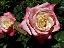 Hybrid- vit/röda rosor arkivbild
