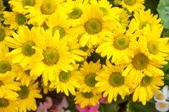 Hybrid yellow chrysanthemum flowers Royalty Free Stock Images