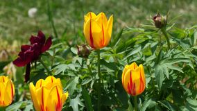 Hybrid Twinkle Tulip flowers in gardenbed with Peonies in spring breeze, 4K. Hybrid yellow to red Twinkle Tulip flowers in gardenbed together with Peonies stock footage