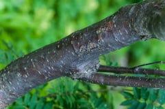 Hybrida рябины (шведское дерево обслуживания) Стоковое Изображение