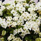 Hybrida Bougainvillea λουλουδιών Στοκ εικόνες με δικαίωμα ελεύθερης χρήσης