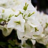 Hybrida Bougainvillea λουλουδιών Στοκ Εικόνα