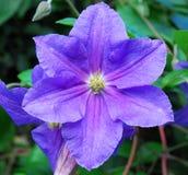 hybrida clematis стоковые фото