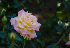 Hybrida cor-de-rosa de Rosa Imagens de Stock Royalty Free