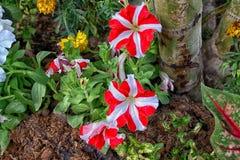 Hybrida de la petunia Fotos de archivo