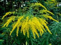 Hybrida de la solidago, flores amarillas Imagenes de archivo