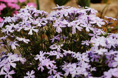 Hybrida de la verbena, azul - flor púrpura Imágenes de archivo libres de regalías