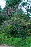 Hybrida de Sorbus (arbre de service suédois) image stock