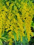 Hybrida del Solidago, fiori gialli Fotografia Stock