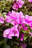Hybrida della buganvillea del fiore Fotografia Stock Libera da Diritti