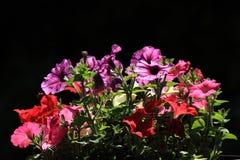 Hybrida della petunia Immagini Stock