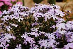 Hybrida della verbena, fiore porpora blu- Immagini Stock Libere da Diritti