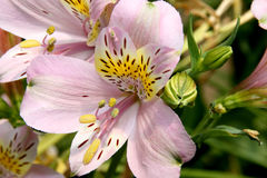 Hybrida di Alstroemeria, giglio peruviano Fotografia Stock