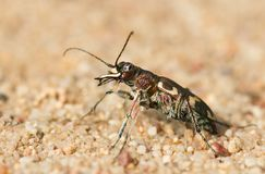 Hybrida dunaire du nord de Tiger Beetle Cicindela, Tchèque photos libres de droits