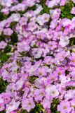 Hybrida för petunia för Closeuppetuniablommor i trädgården Blomsterrabatt med mångfärgade petunior i solig dag för vår royaltyfri bild