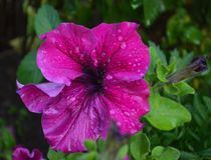 Hybrida floreciente de la petunia de las flores de la petunia fotos de archivo