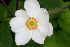 Hybrida ` Honorine Jobert ` Anemone Στοκ Εικόνες