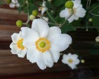 Hybrida «Honorine Jobert» Anemone Στοκ Φωτογραφίες