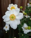Hybrida «Honorine Jobert» Anemone Στοκ εικόνα με δικαίωμα ελεύθερης χρήσης