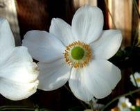 Hybrida «Honorine Jobert» Anemone Στοκ Εικόνα