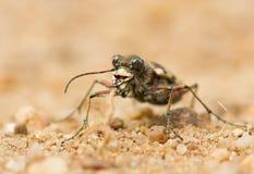 Hybrida septentrional de Tiger Beetle Cicindela de la duna, Checo fotografía de archivo