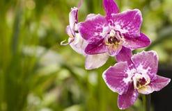 Hybride de Phalaenopsis Photos libres de droits