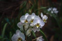 Hybride de Phalaenopsis Belle orchidée rare variétale Photo libre de droits
