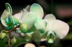 Hybride de Phalaenopsis vert clair Photographie stock libre de droits