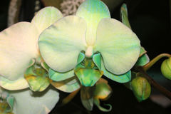 Hybride de Phalaenopsis vert clair Photo libre de droits
