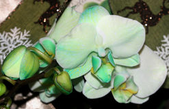 Hybride de Phalaenopsis vert clair Images stock