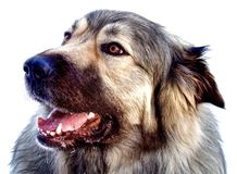 Hybride Duitse herder Great Pyrenees Dog stock foto