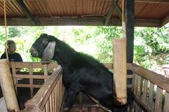 Hybride geiten in het landbouwbedrijf Royalty-vrije Stock Fotografie