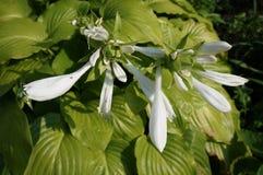 Hybride 'königliche Standard' weiße Blumen des Hosta und glänzende grüne Blätter Lizenzfreies Stockfoto