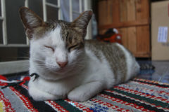 Hybride Katze Lizenzfreie Stockbilder