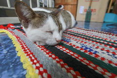 Hybride Katze Lizenzfreie Stockfotografie