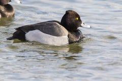 Hybride Kuifeend x Tafeleend, Hybrid Tufted Duck x Common Pochard, Aythya fuligula x Aythya ferina stock photos