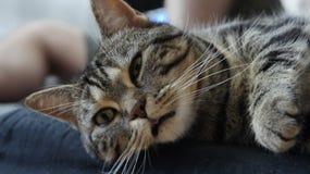 Hybride norvégien de chat de forêt, langue dehors regarde somnolent image libre de droits