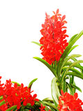 Hybride Orchideen Lizenzfreie Stockfotos