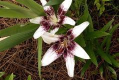 Hybride orientalische Lilien Stockbilder