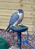 Hybride Peregrine en Merlin Falcon Stock Foto's
