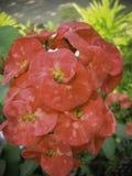 Hybride-roodachtig-kroon-van-doornen royalty-vrije stock foto's