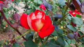 Hybride Rose Lizenzfreie Stockfotografie