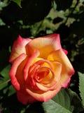 Hybride rote und gelbe Rose stockfotos