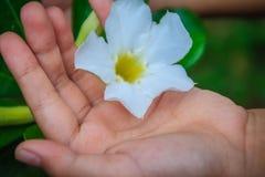 Hybride Wüstenroseblume des Whit (Adenium obesum) im Garten Adenium obesum alias Sabi-Stern, kudu, Scheinazalee, Impala L Lizenzfreies Stockfoto
