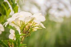 Hybride Wüstenroseblume des Whit (Adenium obesum) im Garten Adenium obesum alias Sabi-Stern, kudu, Scheinazalee, Impala L Lizenzfreie Stockfotos