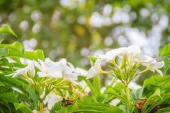 Hybride Wüstenroseblume des Whit (Adenium obesum) im Garten Adenium obesum alias Sabi-Stern, kudu, Scheinazalee, Impala L Lizenzfreies Stockbild