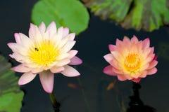 Hybride Waterlily Royalty-vrije Stock Foto's