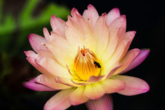 Hybride Waterlily Royalty-vrije Stock Afbeelding